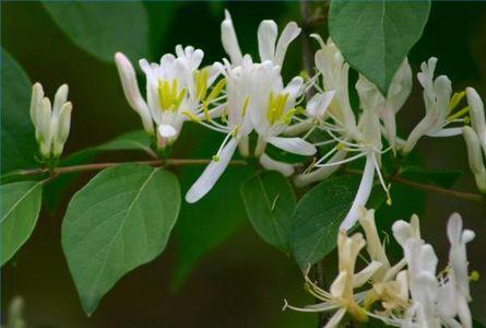 Bush flower essences australian flower remedies ian white honeysuckle mightylinksfo